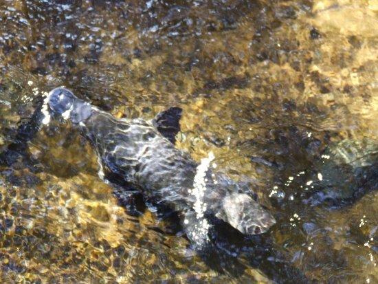 Deloraine, Austrália: Playful Platypus