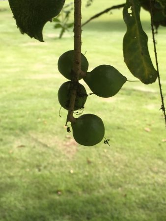 Keaau, HI: Developing Nuts.
