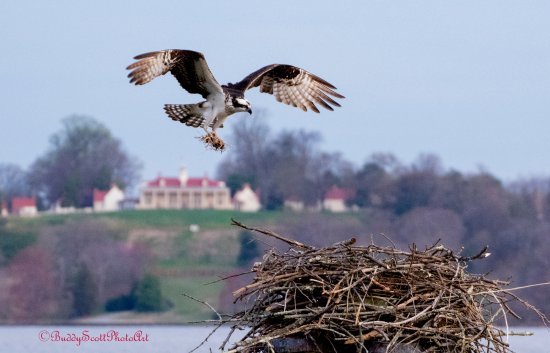 National Colonial Farm: The view from the pier, looking at President George Washington's Mount Vernon Home, the Osprey n