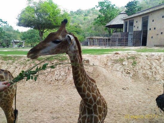 Khao Kheow Open Zoo: Жираф