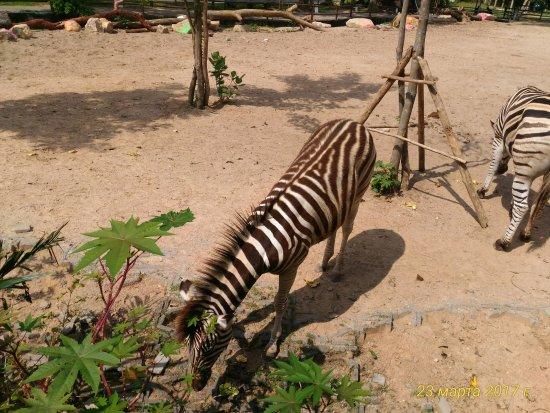 Khao Kheow Open Zoo: Зибра