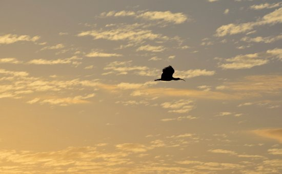 Rupununi, Guyana: Ibis flying by
