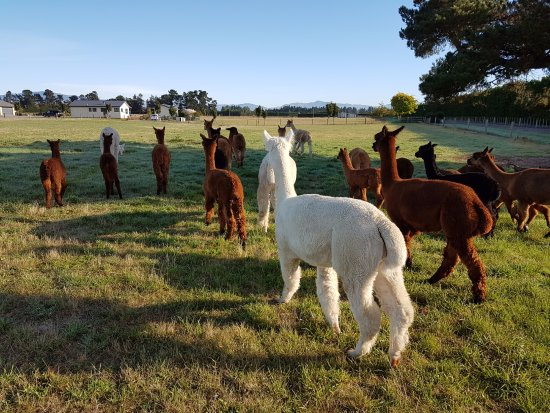 Rangiora, Nouvelle-Zélande : Alpacas