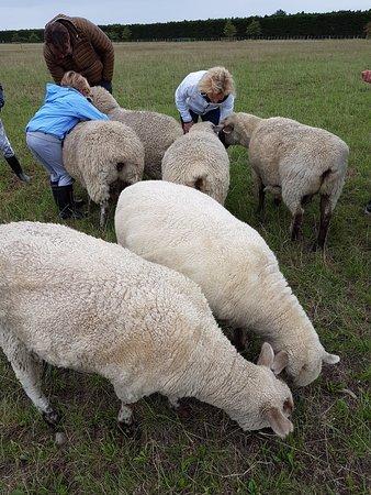 Rangiora, Nouvelle-Zélande : Sheep