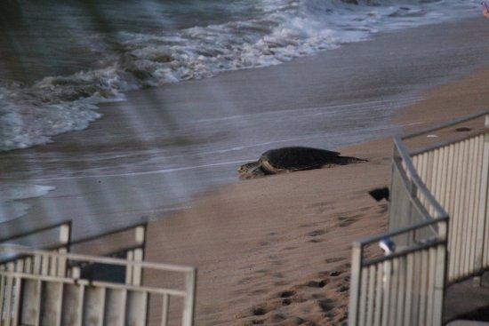 Lokelani Condominiums: More turtles at Lokelani