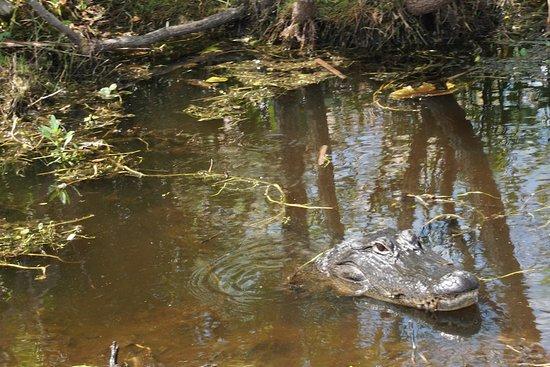 Spirit of the Swamp Airboat Rides: female alligator