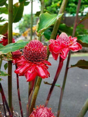 Holualoa, Hawái: Ginger flower!
