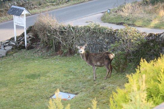Tighnabruaich, UK: A deer visits the garden.