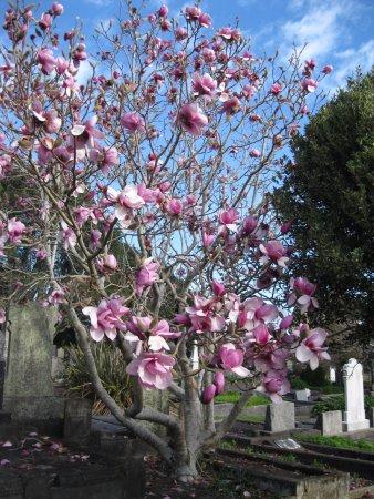New Plymouth, Nueva Zelanda: September - magnolia