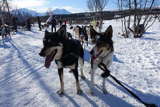 Arctic Adventure Tours: Happy dogs!