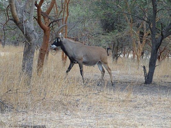 La Petite Cote, Senegal: Antilope cheval