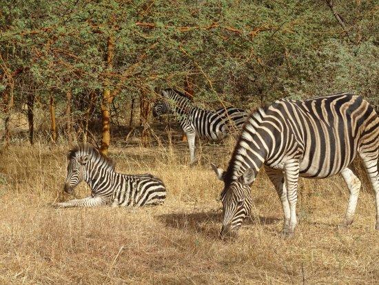 La Petite Cote, Senegal: Belle famille de zèbres