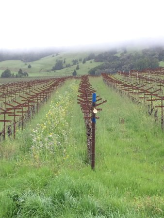 Philo, Californië: Early season before the sheep tidy up between the rows