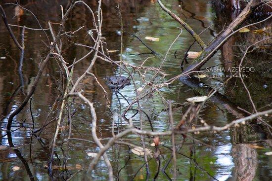 Harleyville, Güney Carolina: River Otter, Francis Beidler Forest