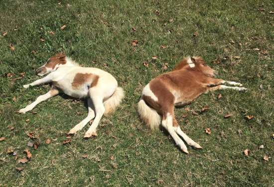 Solvang, Kalifornia: Blue Belle and Sweet Louise (miniature ponies) taking a nap. So adorable!