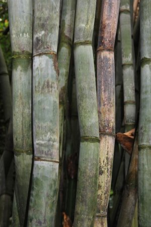 Hana Maui Botanical Gardens : Many varieties of bamboo-huge!