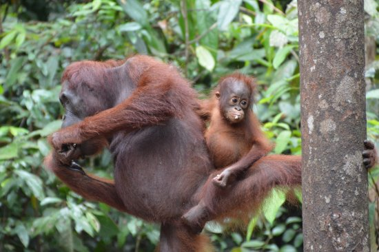 Rimba Orangutan Eco Lodge: The next generation