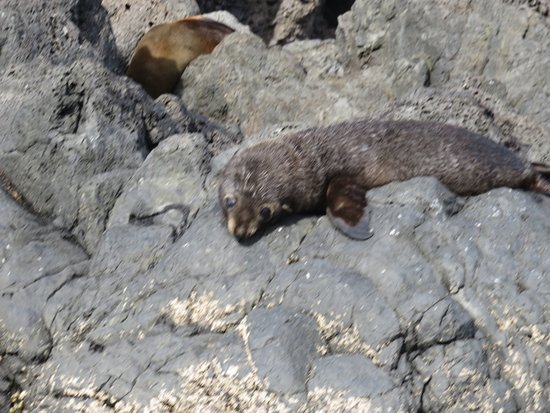 Pohatu Penguin Habitat: NZ Fur Seal pup at Flea Bay