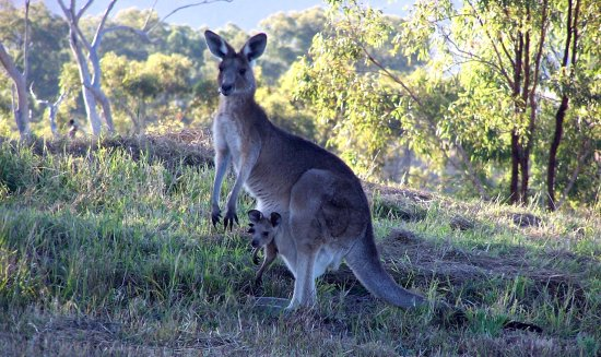 Rathdowney, Australia: An eastern grey kangaroo and joey on a  hillside at Kooralbyn