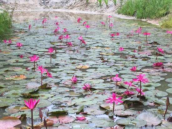 Misty Mountains Tropical Rainforest Retreat: Beautiful lillies in one of the ponds