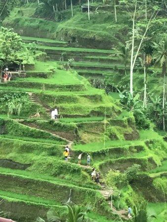 Ubud Kajeng Rice Fields Walk: Ubud Rice Fields