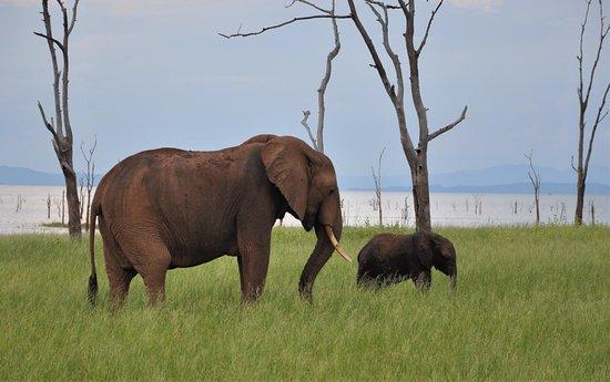 Lake Kariba, Zimbabve: Baby elephant walk