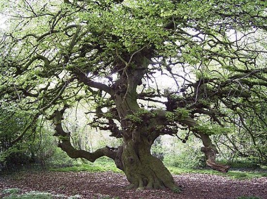 Lauenau, Germany: The 200-year old tree!