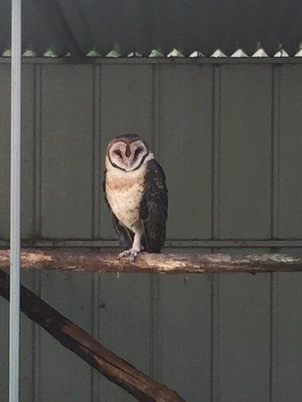 Gunns Plains, Australia: Masked owl