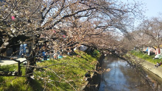 Cherry Trees along the Gojo River bank