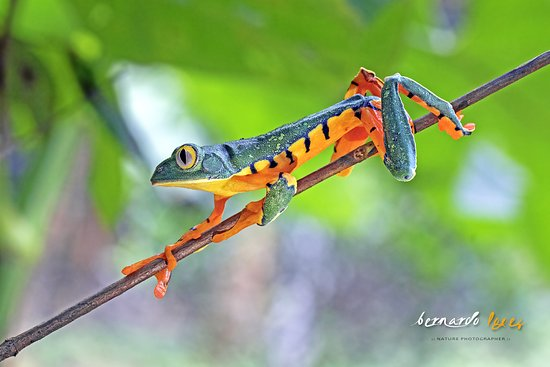 Frogs Heaven: Barred Leaf Frog