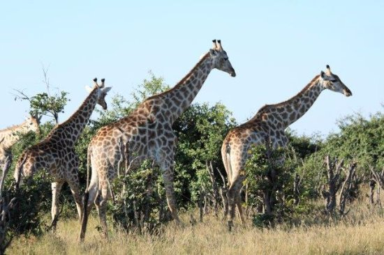 Savute Safari Lodge: Giraffe