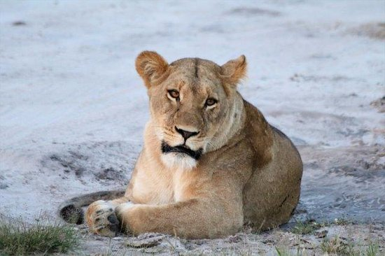 Savute Safari Lodge: Lioness