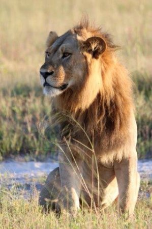 Savute Safari Lodge: Lion