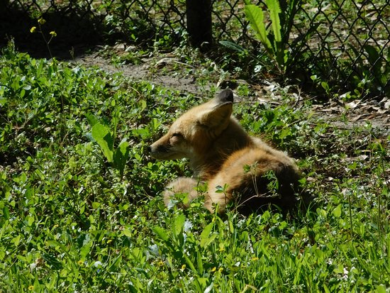 "Homosassa Springs, FL: Red Fox and many other animals in a ""natural habitat"" viewing area."