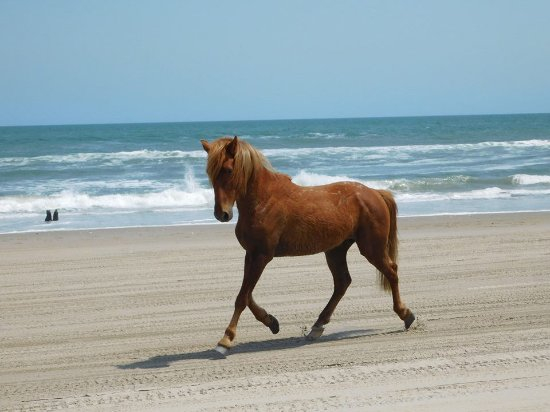 Corolla, Carolina del Norte: The Outer Banks Wild Horses - Pictures shot on tour with Wild Horse Adventure Tours.