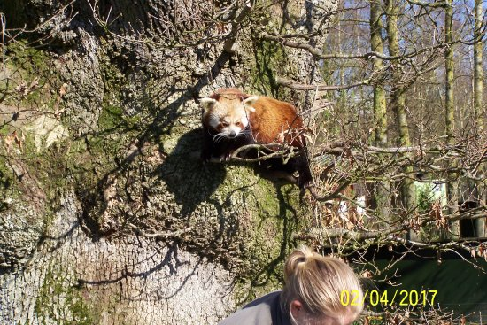 The Lake District Wildlife Park: Red panda's