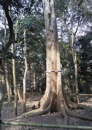 Aisho-cho, ญี่ปุ่น: 美人の木