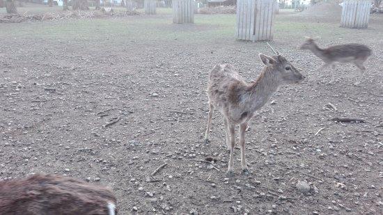 Hirschgarten: i cervi del parco
