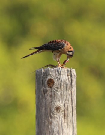 Club Seabourne: Kestrel eating a meal on the telephone pole along the road