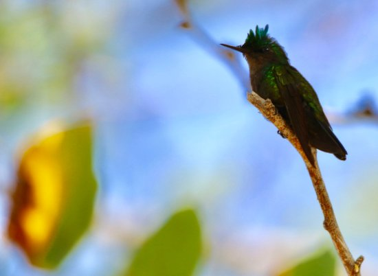 Club Seabourne: Antlle\an Crested Hummingbird