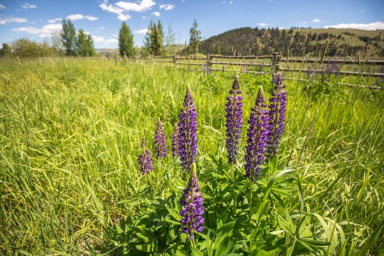 The Ranch at Rock Creek: Wild lupines bloom in the grasslands near Rock Creek.