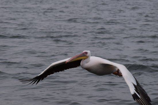 Dolphin Tours Namibia: Pelican flying in for fishy treat