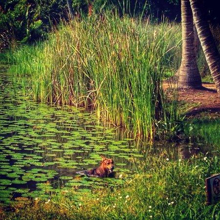 Pulau Ubin, Singapore: dog in swamp