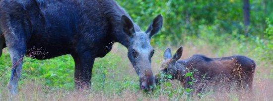Skinnskatteberg, Suecia: Wildlife of central Sweden tour (08.2016), Moose Safari