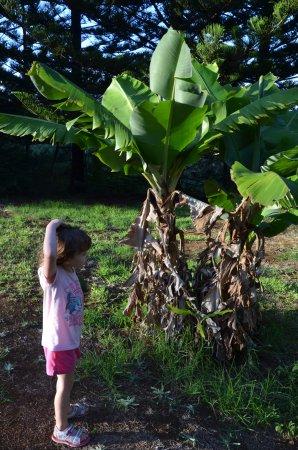 Cascade, Australia: Discovering local bananas