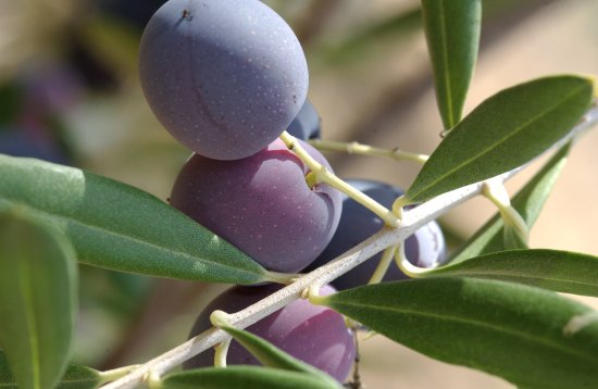 Ojai, CA: Olives from our columella trees