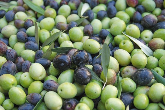 Ojai, CA: An early harvest bin, lots of green olives!