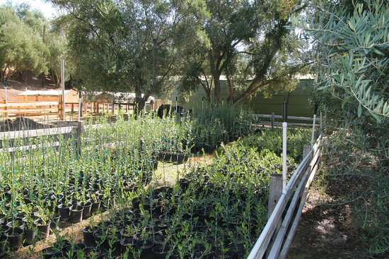 Ojai, CA: Our nursery for growing up baby trees.