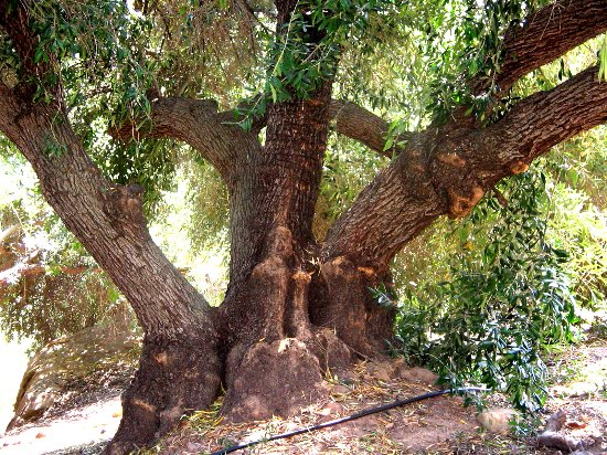 Ojai, CA: One of our 150 year old Lechin de Sevilla trees