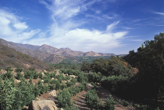 Ojai Olive Oil groves